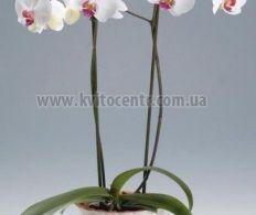 zakaz-tsvetov-orhideya-v-gorshke-evpatoriya-buket-tsvetov-dlya-fotoshopa-bez-fona